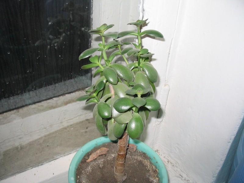 Денежное дерево уход